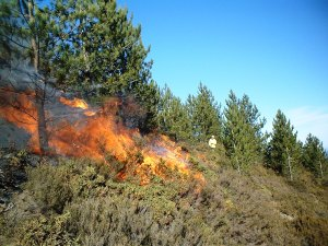 Prescribed_burn_in_a_Pinus_nigra_stand_in_Portugal